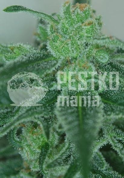 LOVELACE cbd nasiona marihuany pestkomania