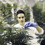 nasiona marihuany pestkomania