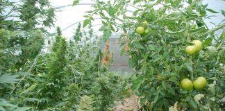 marihuana w pomidorach