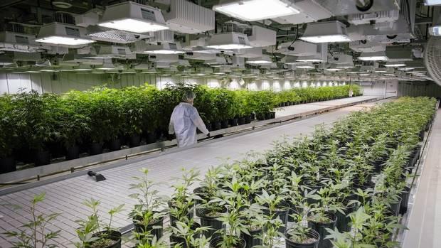Nie Kanada a Niemcy pierwszym dostawca medycznej marihuany?