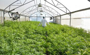 Anonimowa firma poszukuje konopnych ogrodników