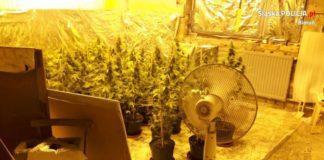 Lędziny: Zapach było czuć już na podwórku. Plantacja marihuany odkryta przez przypadek.