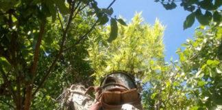 Plantacja marihuany w koronie drzewa