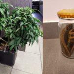 naleśniki z marihuaną