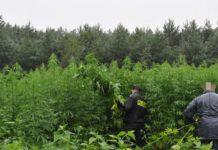 plantacja konopi TVP