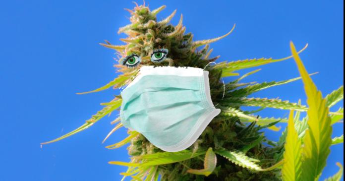 panemia marihuana koronawirus