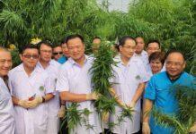 uprawa konopi tajlandia