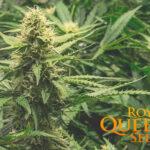 royal queen seeds nasiona