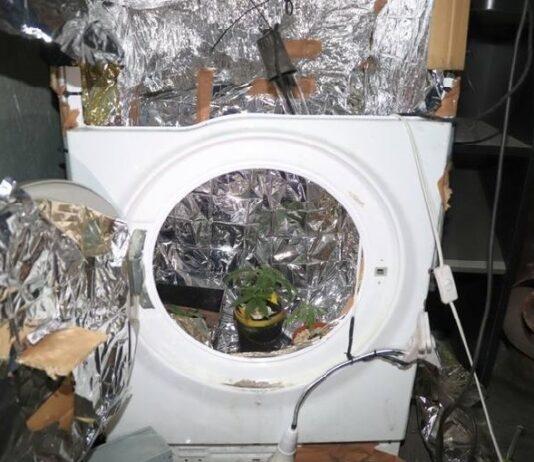 Uprawiał konopie w pralce