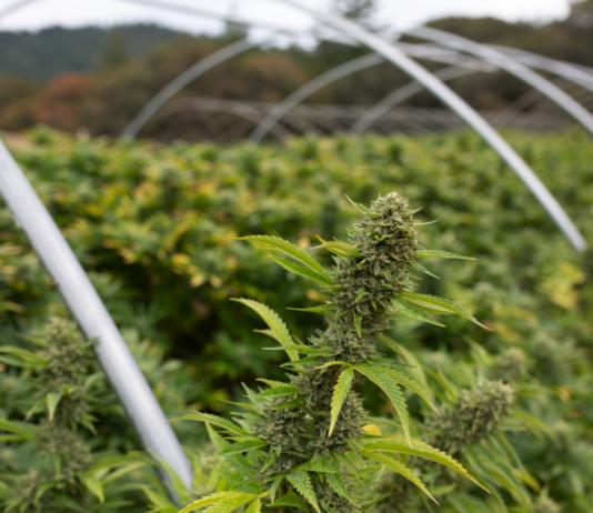 uprawa marihuany